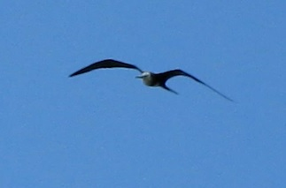 frigate bird flies a bit towards camera