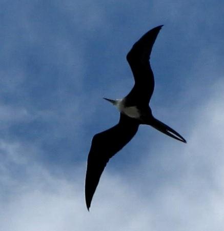 underside of a frigate bird - closer